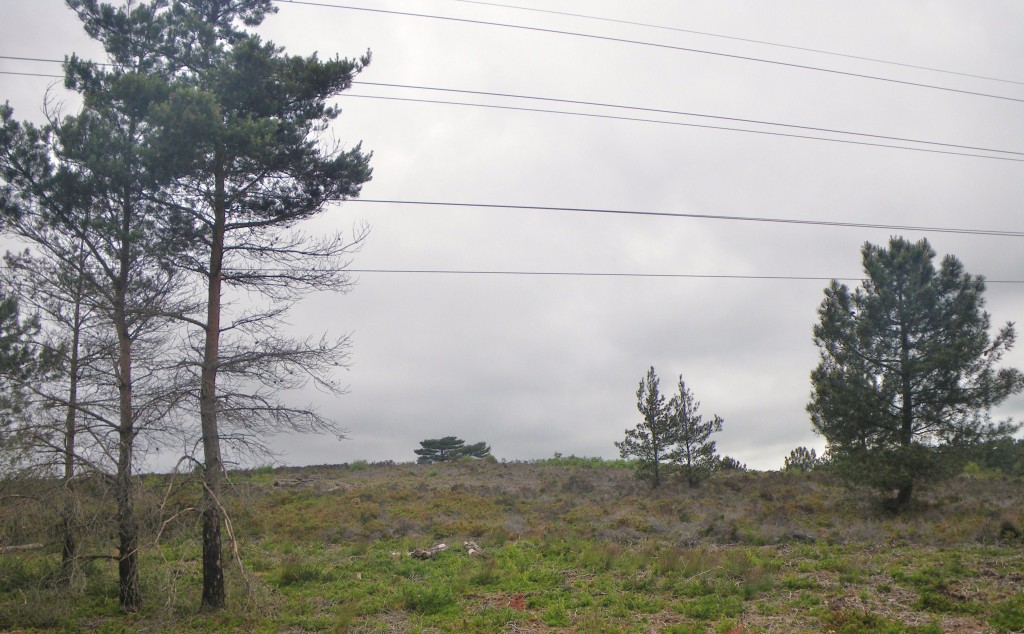 Three types of pines found on Canford Heath